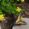 Eastern Tiger Swallowtail ♀