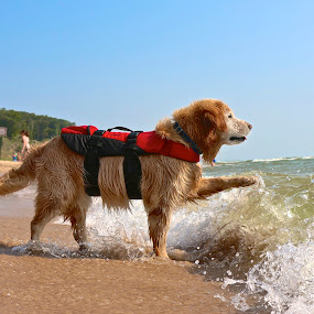 Stop by Jeremy Church - Animals - Dogs Playing ( water, beaches, dogs, lake michigan )