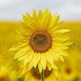Face to Face by Tim Devine - Flowers Flower Gardens ( sunflowers,  )