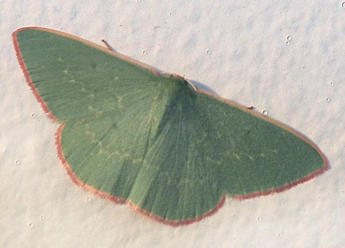 Common gum emerald moth