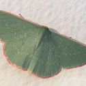 Common gum emerald moth