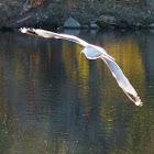 ringbilled gull