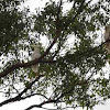 Sulpher-Crested Cockatoos