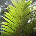 Blechnum magellanicum (Katalapi)