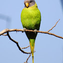 Plum-headed Parakeet (Female)