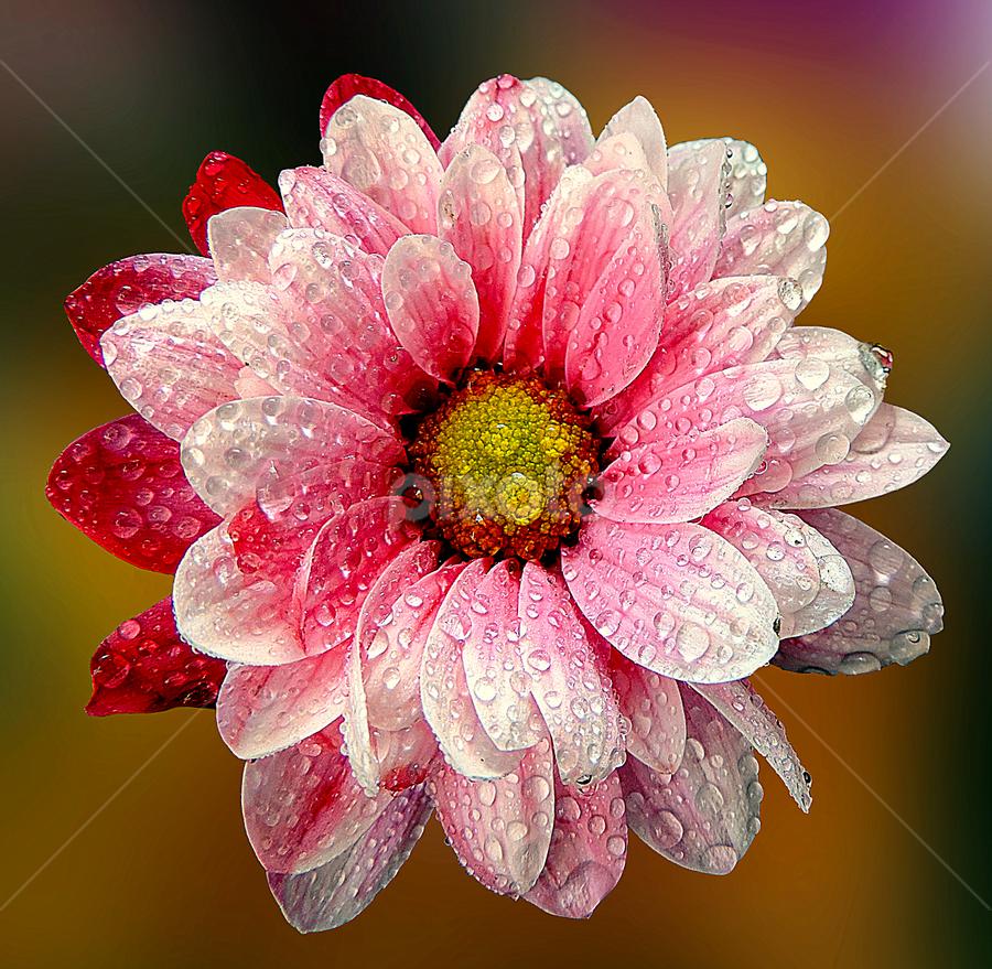by Biljana Nikolic - Flowers Single Flower ( colorful, mood factory, vibrant, happiness, January, moods, emotions, inspiration, , color, lighting, light, bulbs, mood-lites )