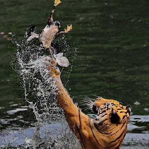 tiger tangkapbb.jpg