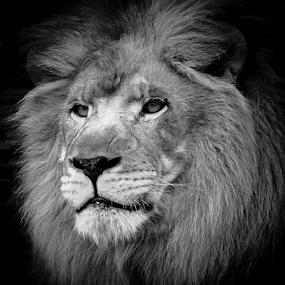 leo by Gregg Pratt - Black & White Animals ( lion )