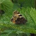 small Tortoise shell Butterfly-closed