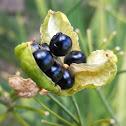 Walking iris seeds