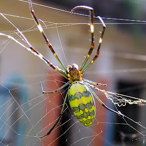 by Alvin Ngow - Animals Insects & Spiders ( wild, park, macro photography, colorful, colors, wildlife, forest, insect, spider mending nets, bokeh, close up, spider web, mending nets, macro, nature, jungle, outdoor, close up photography, spider, garden, nepal, animal,  )