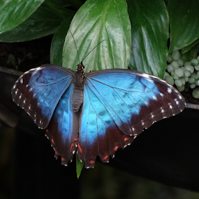Butterfly by Iain Weatherley - Animals Insects & Spiders ( blue butterfly, beautiful, stunning,  )