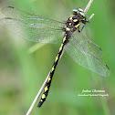 Arrowhead Spiketail Dragonfly