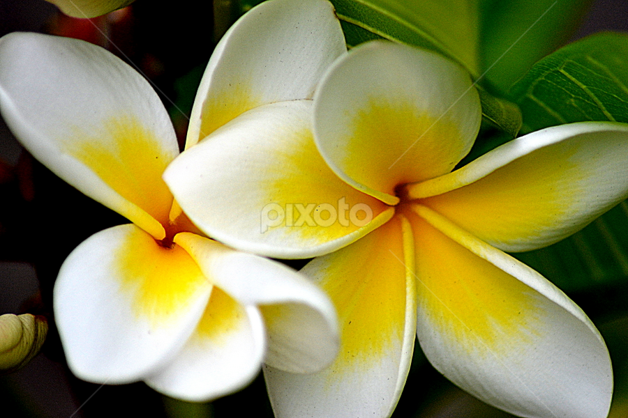 White Frangipani 74 by Mark Zouroudis - Flowers Flowers in the Wild (  )