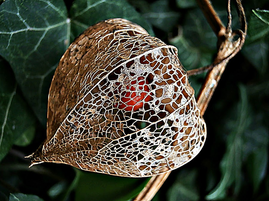 Lace Makers Have Finished the Job by Marija Jilek - Nature Up Close Other plants ( lace, pouch, nature, plants, job, physalis alkekengi, lace-makers )