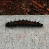 Mourning Cloak Catapiller