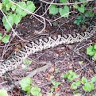 Diamondback Rattle Snake