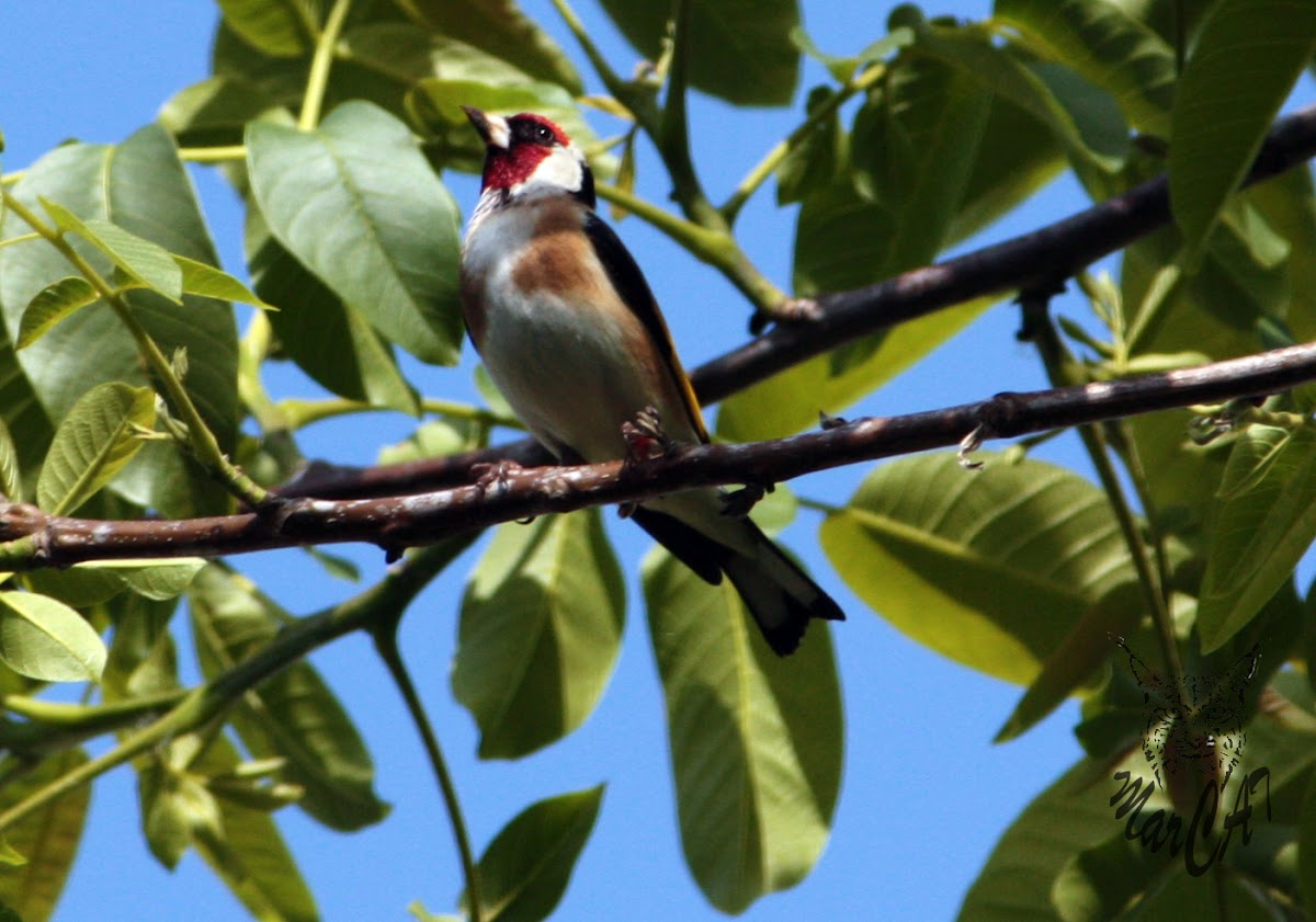 European Goldfinch - Stehlík obecný