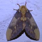 Lobed Citheronia