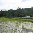 Rice plants ( Andapa White )