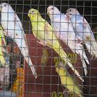 Common pet parakeet / Shell parakeet