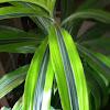 Corn plant (house plant)