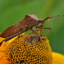 Leaf -footed Bug
