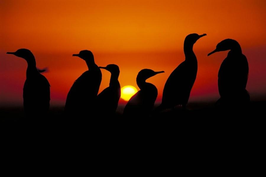 cormorant sunset by Richard Duerksen - Animals Birds ( cormorant, sunset, south africa,  )