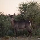 Waterbok (females)