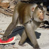 Thailand's 'Working Monkeys' - Southern pig-tailed Macaque