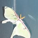 Lunar Moth