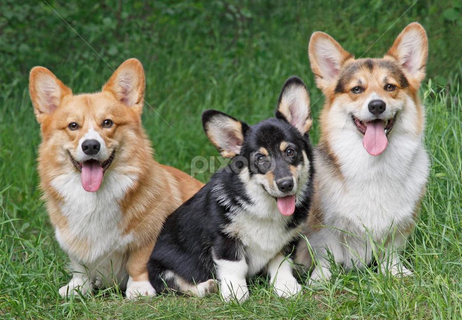 Corgi pack by Mia Ikonen - Animals - Dogs Portraits ( obedient, pembroke welsh corgi, finland, pack, cute,  )