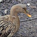 Mallard duck( female)