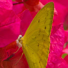 Orange Emigrant Butterfly