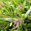Emerald Blue Moss Phlox