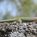 Ornate day gecko
