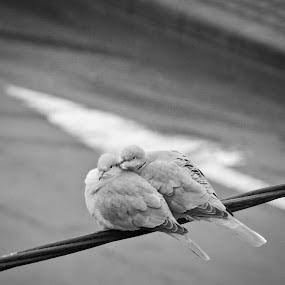 pigeons in love by Ovidiu Porohniuc - Animals Birds ( pigeons, love, animals, birds, city,  )