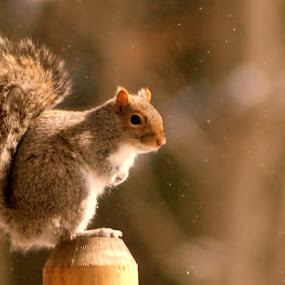 It's Cold by Lee Grubbs Burke - Animals Other Mammals ( winter, leela, lgb, lab, squirrel )