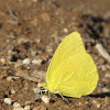 Cloudless Sulphur (male)