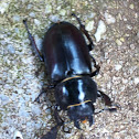 Stag Beetle (jelenjak) ♀