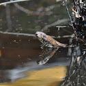 Brown Water Snake