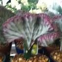 Candelabra Plant
