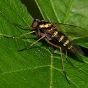 Ornate snipe fly