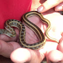 striped keelback
