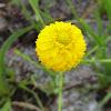 Yellow Milkwort