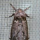 Langsdorfia moth
