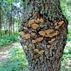 Tree Fungi (Hickory)