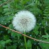 Common Dandelion / Maslačak