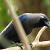 The House Crow