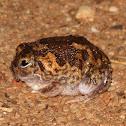 Desert Spadefoot Toad